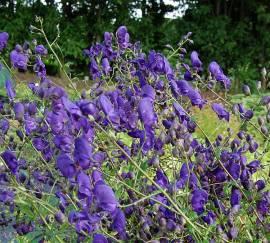 Aconitum henryi 'Spark's Variety' Eisenhut - Bild vergrößern