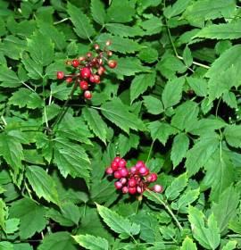 Actaea pachypoda var. rubra, Christophskraut - Bild vergrößern