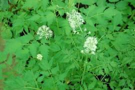 Actaea spicata, Christophskraut - Bild vergrößern