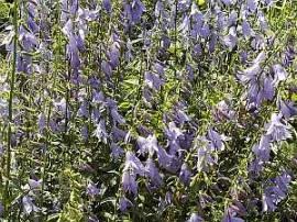 Adenophora liliifolia, Becherglocke, Schellenblume - Bild vergrößern