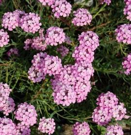 Aethionema armenum 'Warley Rose' Rosa Steintäschel - Bild vergrößern