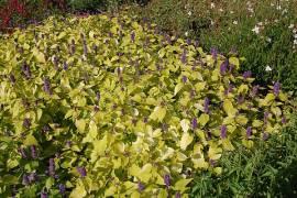 Gold - Anis - Ysop, Agastache foeniculum 'Golden Jubilee' - Bild vergrößern