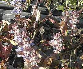 Ajuga reptans 'Atropurpurea' Günsel, braunlaubig - Bild vergrößern
