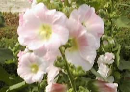 Alcea Rosea Hybriden 'Simplex', Stockrosen, einfachblühend - Bild vergrößern