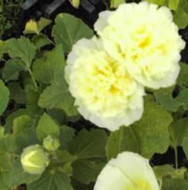 Alcea rosea 'Gelb', Stockrosen - Bild vergrößern