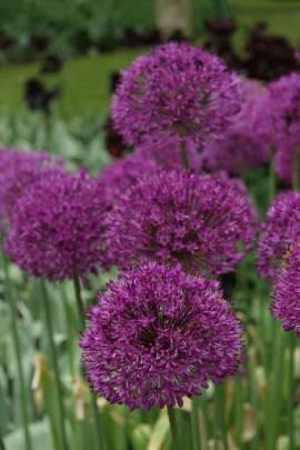 Allium aflatunense 'Purple Sensation', Zierlauch - Bild vergrößern