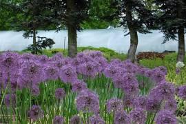 Zierlauch, Allium Hybride 'Gladiator' - Bild vergrößern