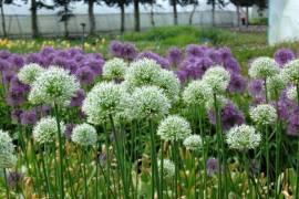 Zierlauch, weiss, Allium giganteum 'Mont Blanc' - Bild vergrößern