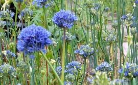 Zierlauch, himmelblau, Allium caeruleum - Bild vergrößern