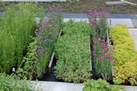 Allium schoenoprasum 'Forescate', Schnittlauch - Bild vergrößern