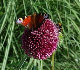 Zierlauch, Allium spaerocephalon - Bild vergrößern