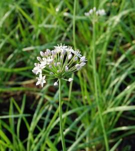 Allium tuberosum, Schnittknoblauch - Bild vergrößern