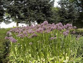 Zierlauch Allium giganteum - Bild vergrößern