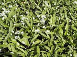 Allium ursinum, Bärlauch - Bild vergrößern
