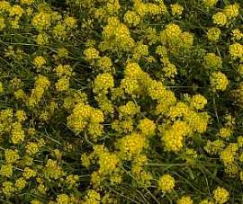 Steinkraut, Alyssum montanum 'Berggold' - Bild vergrößern