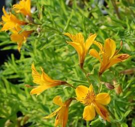 Alstroemeria aurea, Inkalilie - Bild vergrößern