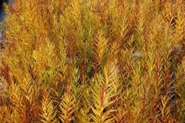 Amsonie, Amsonia tabernaemontana - Bild vergrößern