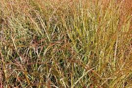 Anemanthele lessoniana (Stipa arundinacea), neuseeländisches Windgras, Fasanenschwanzgras - Bild vergrößern