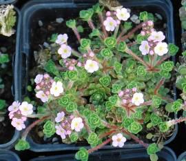 Androsace mucronifolia Mannsschild rosa - Bild vergrößern