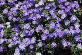 Anemone blanda 'Blue Shades' Berganemone, blaues Windröschen - Bild vergrößern