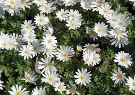Anemone blanda 'White Splendour' weiß, Berganemone, Windröschen - Bild vergrößern