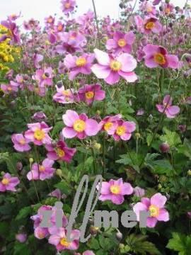 Anemone japonica 'Bowles Pink', Herbstanemone - Bild vergrößern