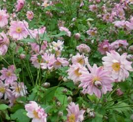 Anemone japonica 'Enchantement', Herbstanemone - Bild vergrößern