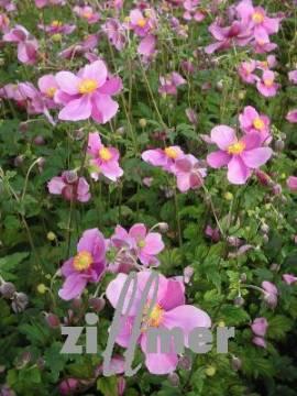 Anemone hupehensis 'Hadspen Abundance' Herbstanemone - Bild vergrößern