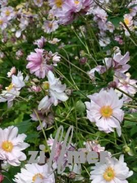 Anemone Japonica Hybr. 'Mont Rose' Herbstanemone - Bild vergrößern