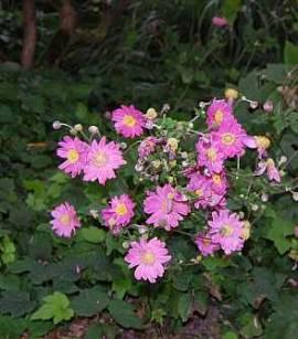 Anemone Japonica Hybr. 'Prinz Heinrich' Herbstanemone - Bild vergrößern