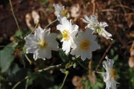 Anemone Japonica Hybr. 'Whirlwind' Herbstanemone - Bild vergrößern