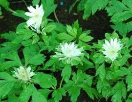 Anemone nemorosa ' Bracteata Pleniflora', Buschwindröschen - Bild vergrößern