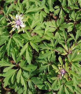 Anemone nemorosa ' Multiplicity', Buschwindröschen - Bild vergrößern