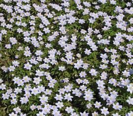 Anemone nemorosa  'Robinsoniana' Buschwindröschen - Bild vergrößern