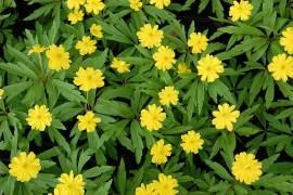Anemone ranunculoides 'Semiplena', Gelbes Buschwindröschen - Bild vergrößern
