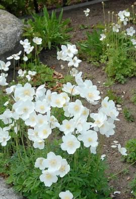 Anemone sylvestris, Waldwindröschen - Bild vergrößern