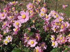 Anemone tomentosa 'Serenade' Herbstanemone - Bild vergrößern