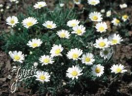 Anthemis carpartica 'Karpatenschnee', weiße Hundskamille - Bild vergrößern