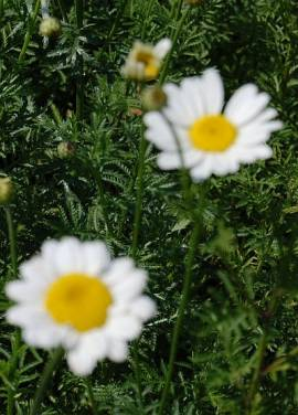 Anthemis tinctoria 'Alba', Hundskamille - Bild vergrößern