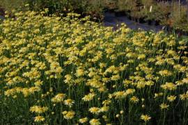 Anthemis Tinctoria -Hybride 'E.C. Buxton', Hundskamille - Bild vergrößern