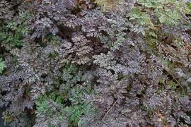 Wiesenkerbel, Anthriscus sylvestris 'Ravenswing' - Bild vergrößern