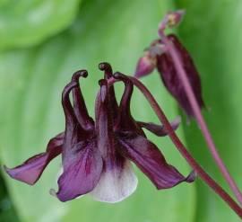 Akelei, Aquilegia vulgaris 'William Guiness' - Bild vergrößern