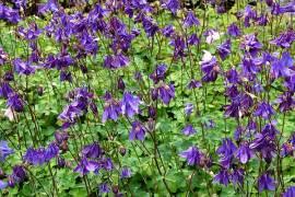 Akelei, Aquilegia vulgaris, Wild-Akelei, blau - Bild vergrößern