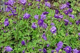 Akelei, Aquilegia Vulgaris-Hybriden 'Blue Barlow', Garten-Akelei, gefüllt - Bild vergrößern