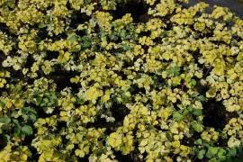 Aquilegia vulgaris 'Leprechaun Gold' blauviolett, Akelei - Bild vergrößern