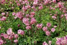 Aquilegia Vulgaris-Hybride 'Rose Barlow', Akelei - Bild vergrößern