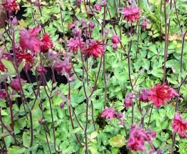 Aquilegia vulgaris 'Ruby Port', Akelei, weinrot gefüllt - Bild vergrößern