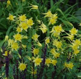 Akelei, Aquilegia-Hybriden 'Maxistar', gelb - Bild vergrößern