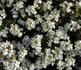 Gänsekresse, weiß, Arabis caucasica 'Schneeball' - Bild vergrößern