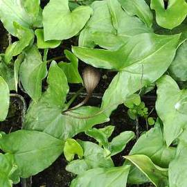 Mäusepflanze, Arisarum proboscideum - Bild vergrößern